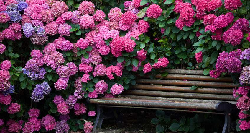 Гортензии в наших садах