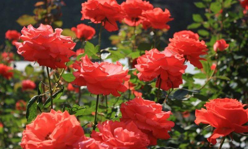 Розы и их использование в дизайне сада